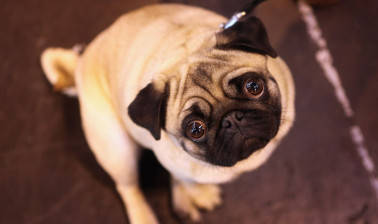 After Hutch and Vodafone, will the pug follow Sirji now?
