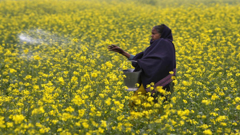 Rajasthan not to allow GM mustard even if Centre approves