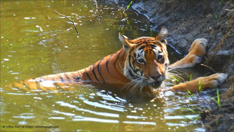 Country's oldest tigress in captivity dies at 20 in Assam zoo