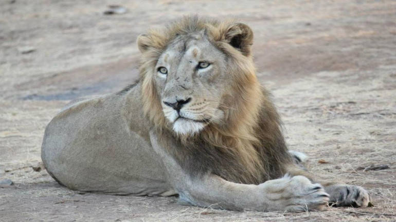 Gir National Forest: Abode of Asiatic Lion in the world
