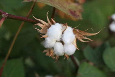 Ex-Cabinet secretary 'regrets' over introducing GM cotton in India