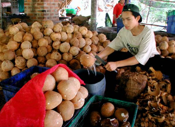 A farm worker shells a coconut in Samut Songram, Thailand, 75 kilometers (47 miles) south of the capital Bangkok on March 5 2001. Thai coconut farmer Kitti Maneesrikul has developed a clean and cheap fuel from used coconut oil which can be used by cars, trucks and industrial engines. Environmentalists say such renewable fuels should replace fossil fuels, which are contributing to global warming. DWW/CC - RP2DRIIQHYAA