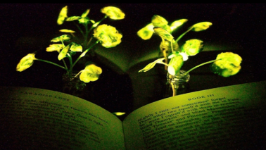 Glow in the dark plants developed by MIT engineers