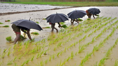 Punjab expects paddy to cover 30 lakh hectares; sowing to begin from June 20
