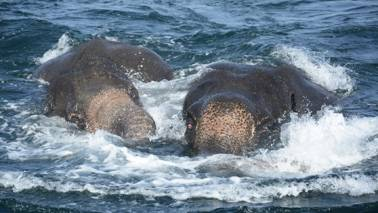 Watch: Sri Lankan Navy rescues two drowning elephants