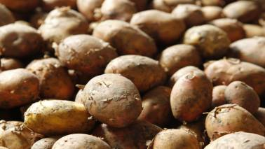 Wholesale potato prices slump to Rs 2/kg on higher inventories: Report