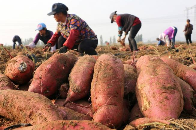 Farmers harvest sweet potatoes in a field in Jining, Shandong province, China November 2, 2017. Picture taken November 2, 2017. REUTERS/Stringer ATTENTION EDITORS - THIS IMAGE WAS PROVIDED BY A THIRD PARTY. CHINA OUT. - RC14071FBFA0