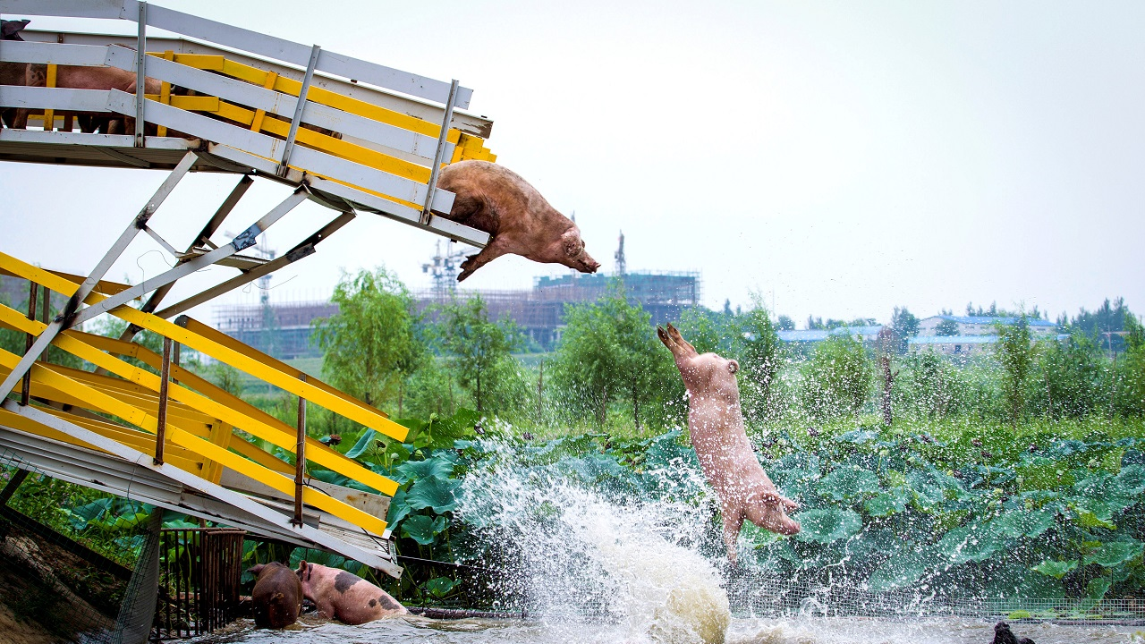 Pigs are herded off a platform into water by breeders during a daily exercise at a pig farm in Shenyang, China on August 14, 2017. (Reuters)