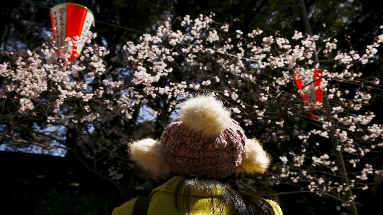 Hanami is the custom of viewing them by day and when done at night, it is called Yozakura. What is this and which two companies get their name from this, one taking its name from the Japanese term and the other from its English name? (Image courtesy: Reuters)