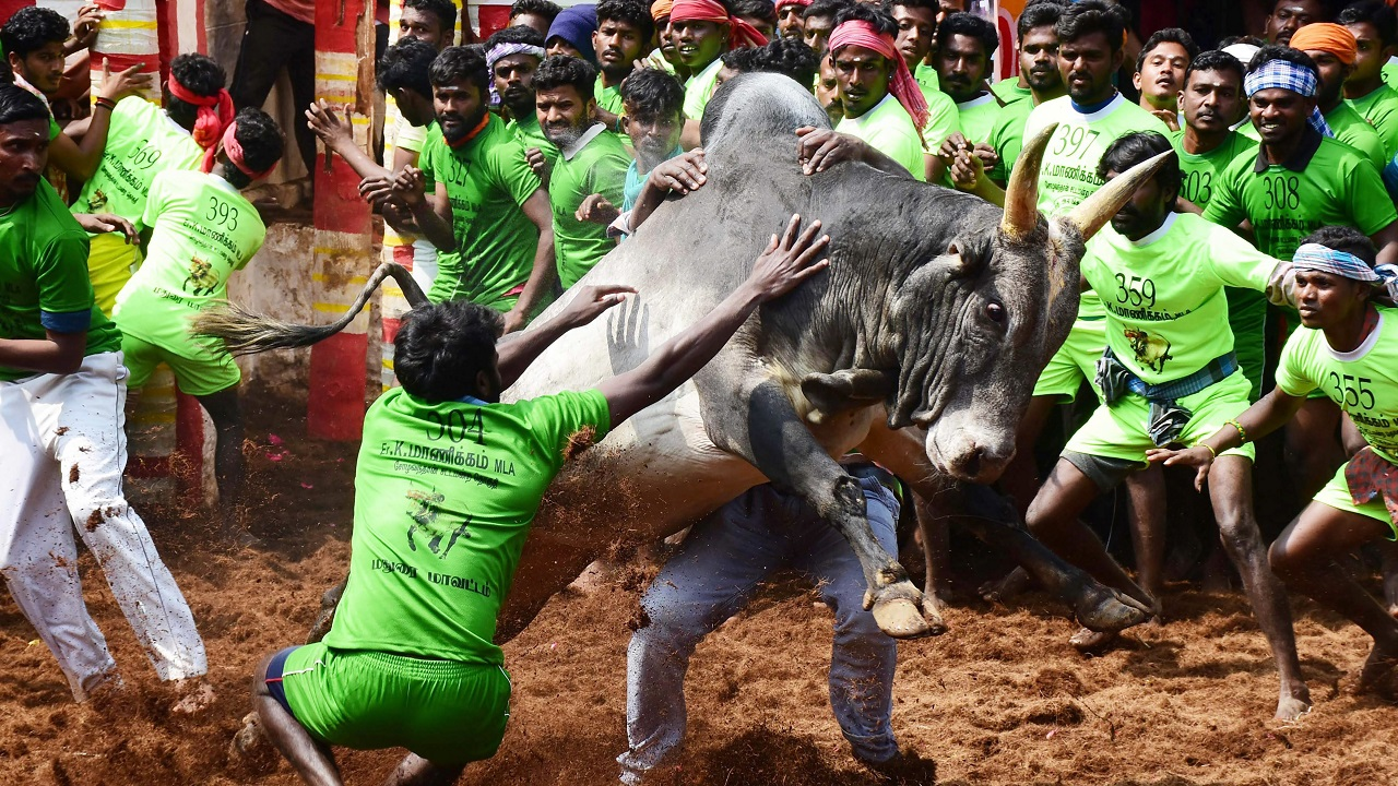 Participants trying to tame a bull during the Alanganallur Jallikattu in Madurai district. (PTI)