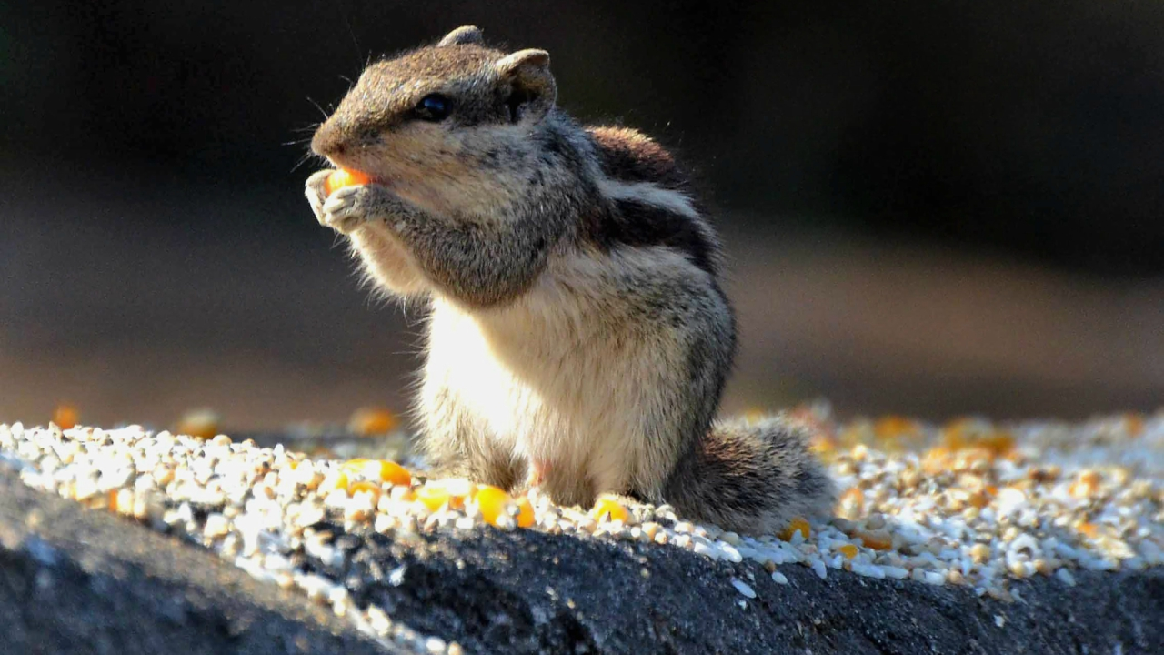 A squirrel eats corn grains on a cold winter morning in Bhopal. (PTI)