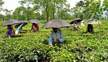 Tea exports touch record 256.5 million kilos in FY18