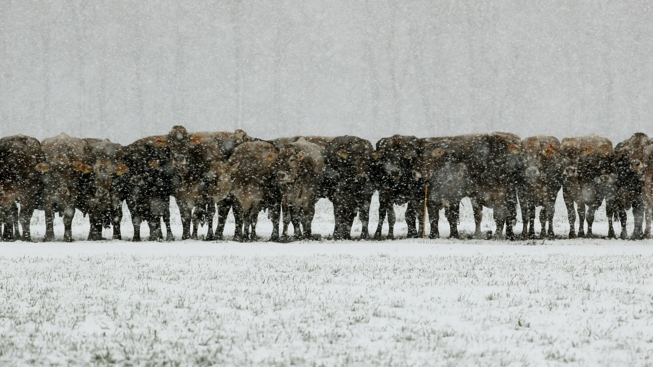 Cows are seen during snowfalls near Landquart, Switzerland. (Reuters)