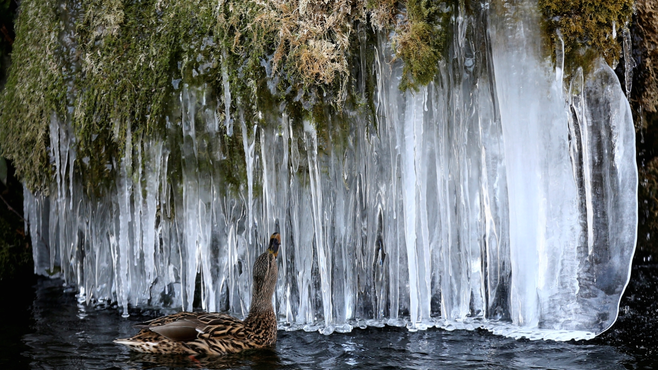 A duck looks at icicles at a pond in Bern, Switzerland. (REUTERS)