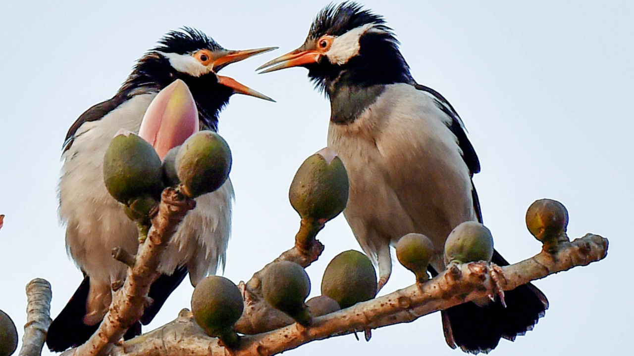 Pied Myna birds perched on a branch of a cotton-tree (Bombax ceiba) in Kolkata. (PTI)