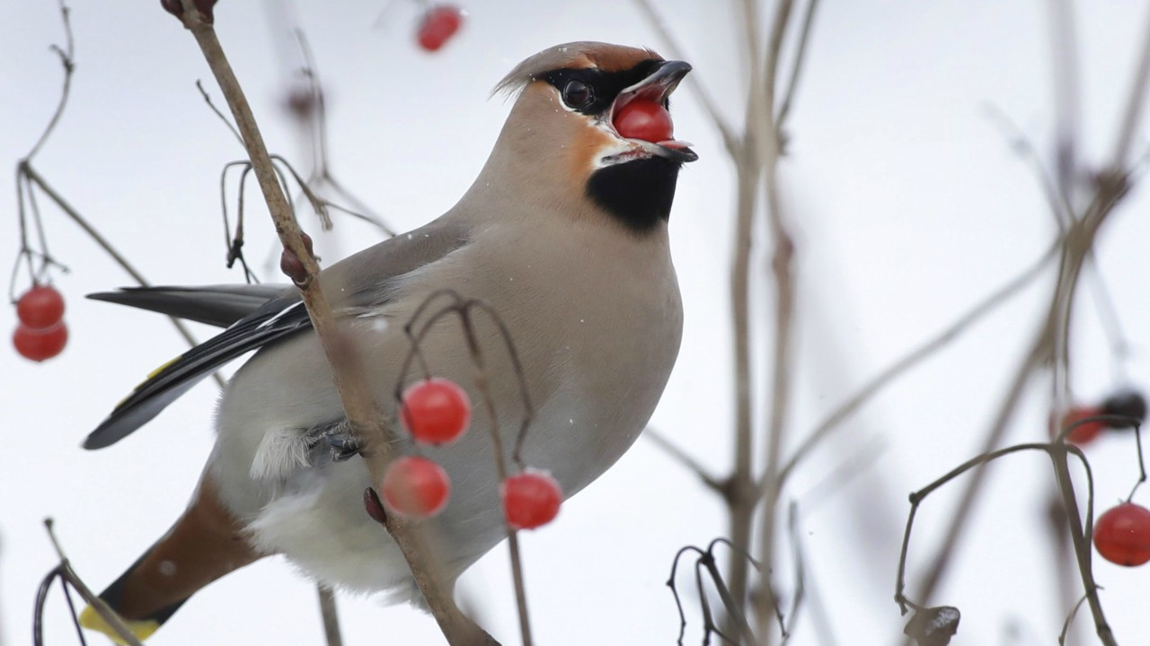 A waxwing eats berries of the viburnum in the village of Karpavichi, some 60 km (37 miles) north-west of Minsk, Belarus (AP/PTI)