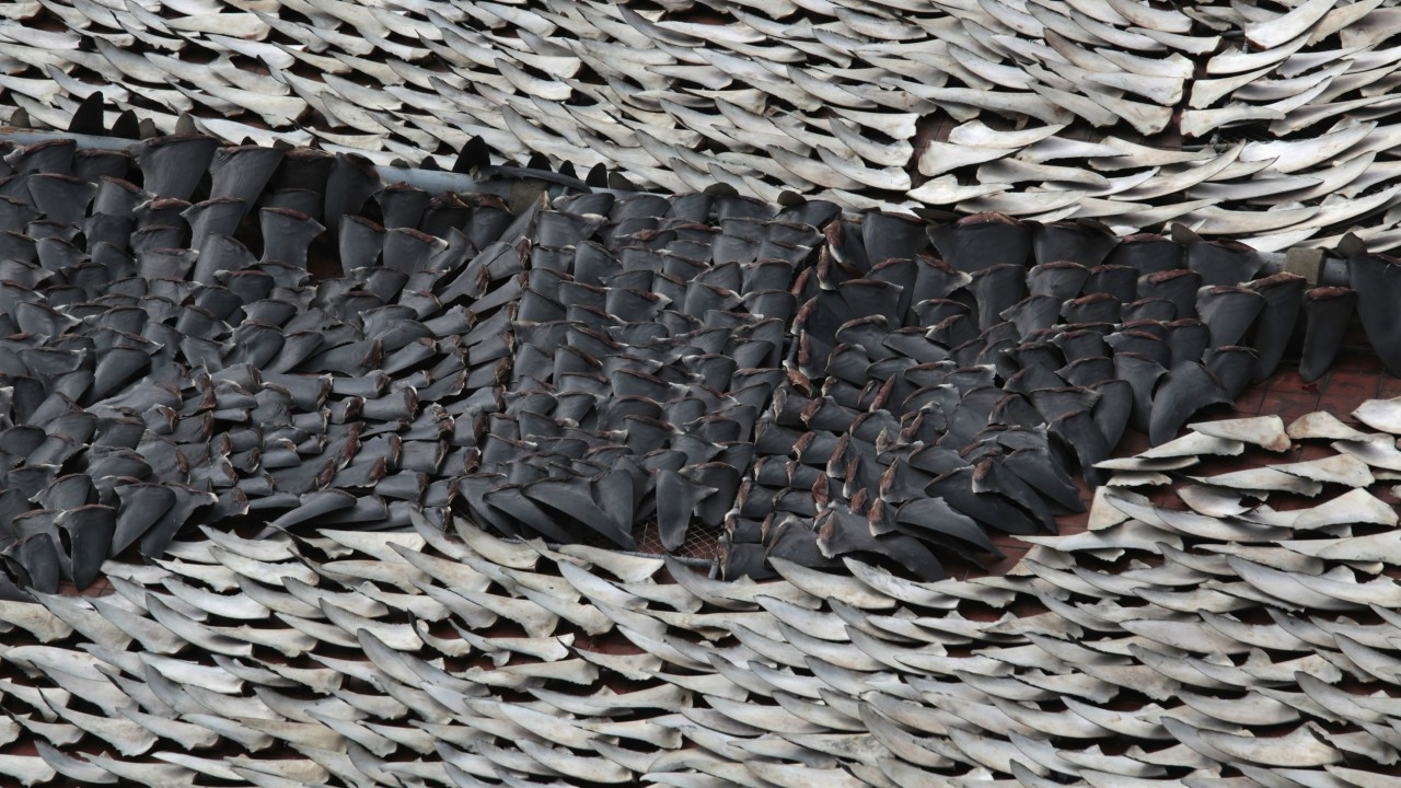 Over 10,000 pieces of shark fins placed to dry on the rooftop of a factory in Hong Kong. Close to 67% of China's population is urban and has western consumption patterns. (REUTERS)