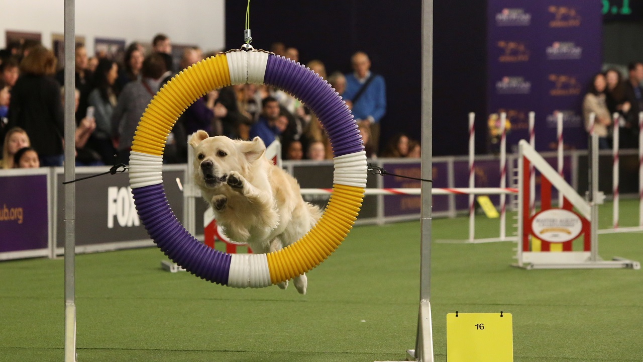 A dog competes in the Masters Agility Championship during the Westminster Kennel Club Dog Show in New York, United States. (Reuters)