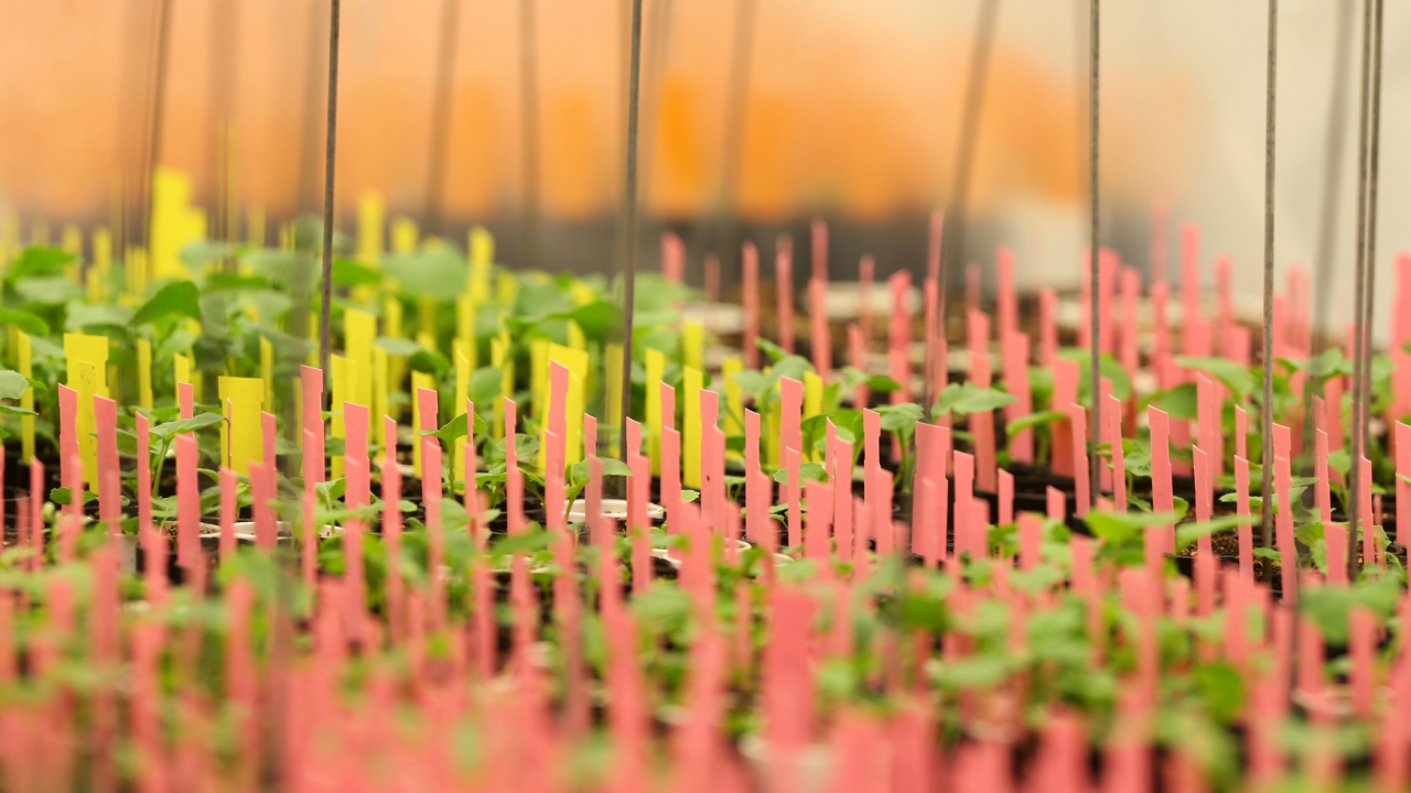 Canola plants are marked with coloured strips in a growth room at Monsanto Canada's plant breeding centre, where researchers are attempting to develop a clubroot-resistant canola variety, in Winnipeg, Manitoba (Reuters)