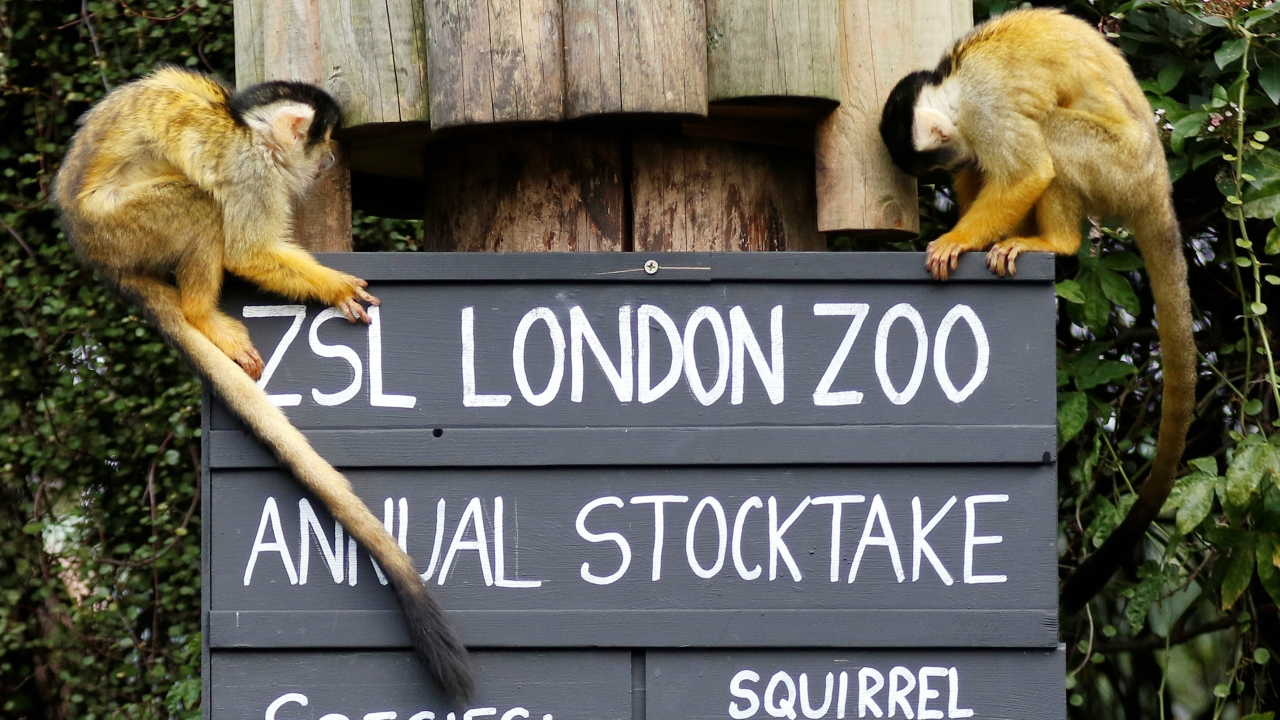 Squirrel monkeys sit on a placard during the Annual Stocktake at ZSL London Zoo in London, Britain February 7, 2018. (Reuters)