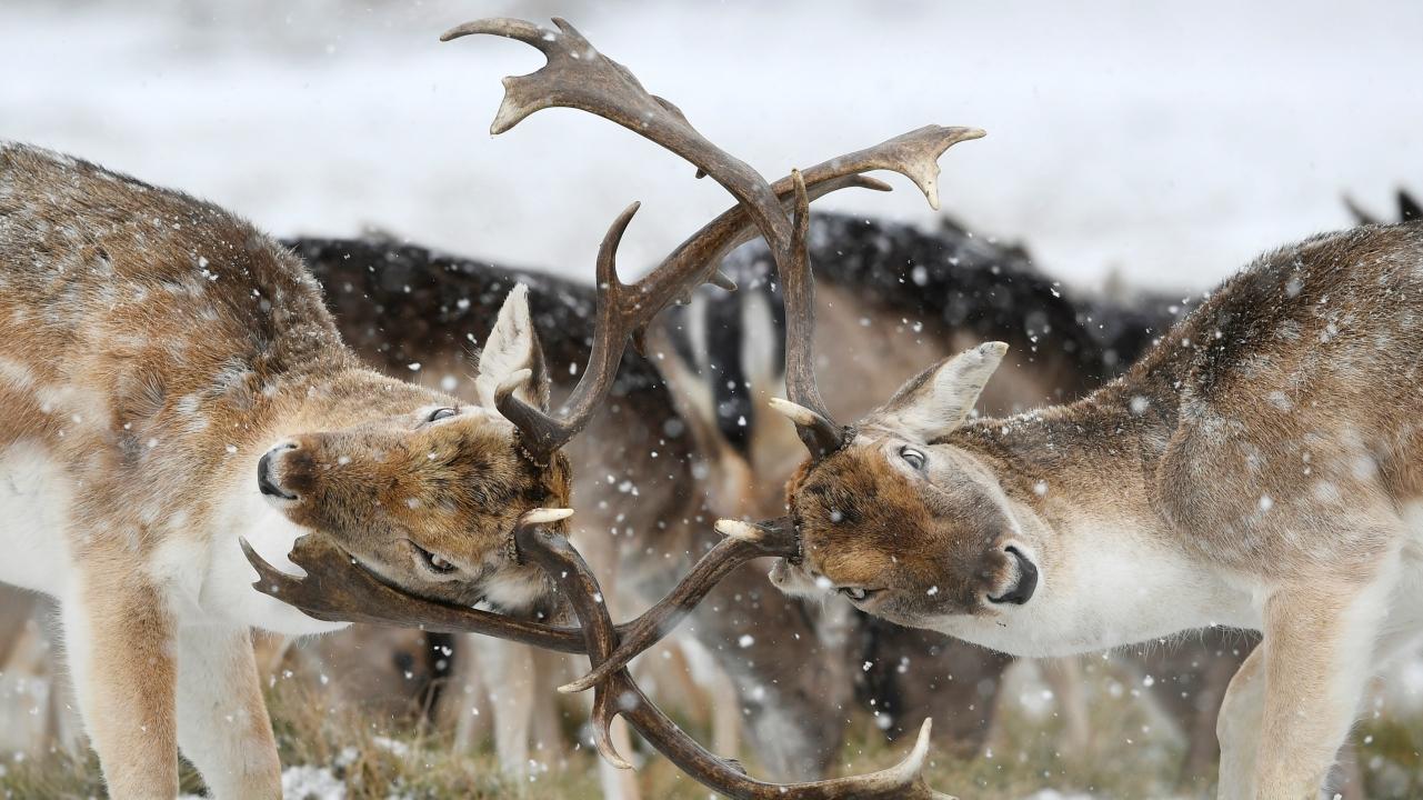 Deer clash antlers as snow falls in Richmond Park in London, Britain. (REUTERS)