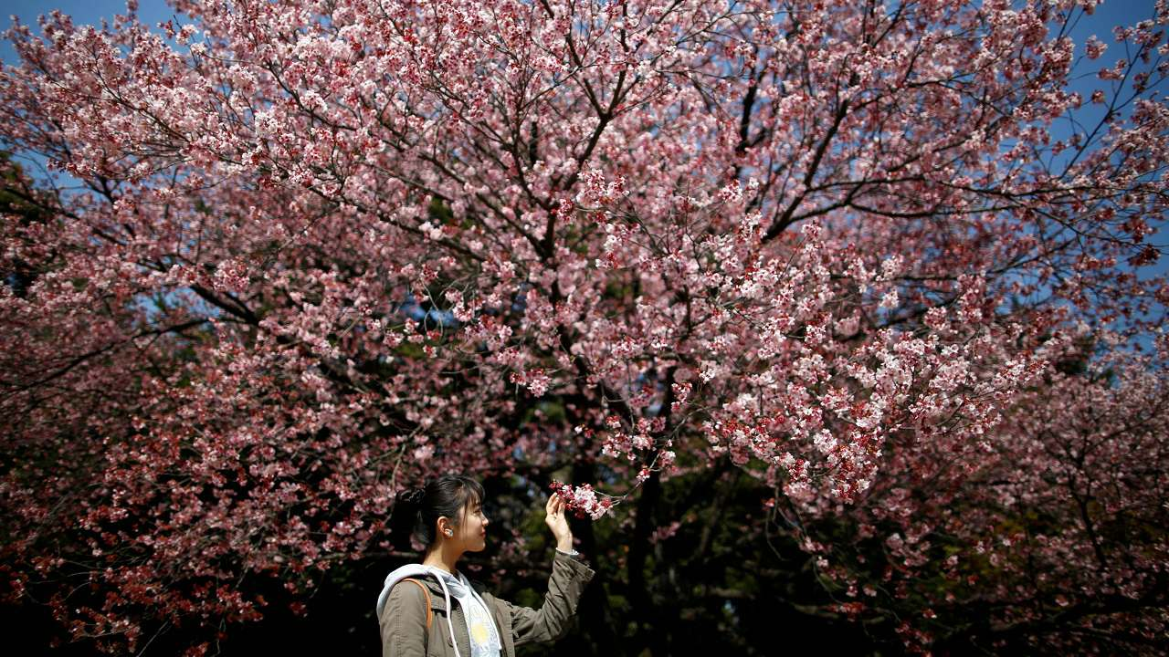 A visitor looks at early flowering Kanzakura cherry blossoms in full bloom at the Shinjuku Gyoen National Garden in Tokyo, Japan. (Reuters)