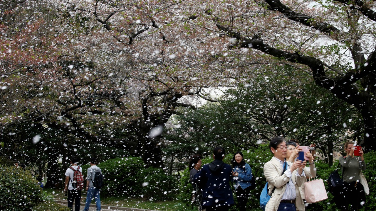 People film a shower of cherry blossoms at a park in Tokyo, Japan. (REUTERS)