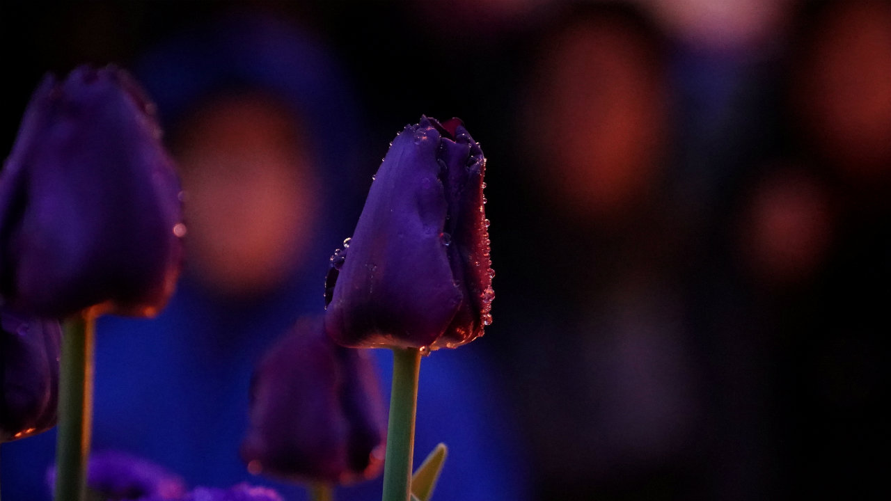 A flower in the rain is pictured during a candlelight vigil at a makeshift memorial on Yonge Street following a van that attacked multiple people in Toronto, Ontario, Canada. (REUTERS)