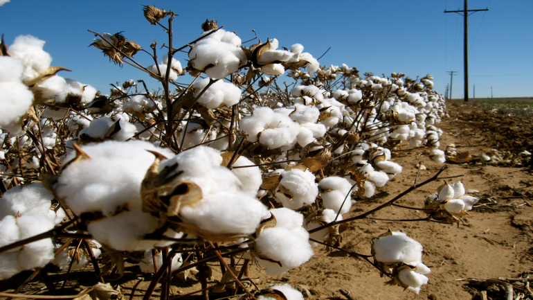 Cotton exports likely to jump 43% in 2018-19 : Cotton Association of India