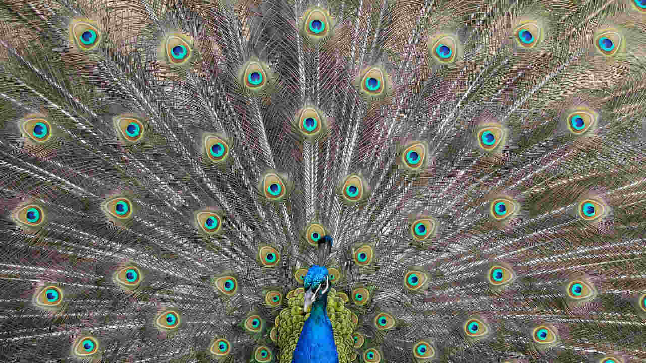 A peacock displays his plumage as part of a courtship ritual to attract a mate, at a park in London, Britain. (REUTERS)