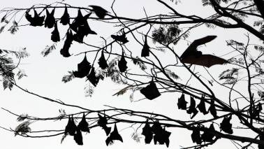 Nipah death toll touches 12, samples of fruit eating bats being collected for testing
