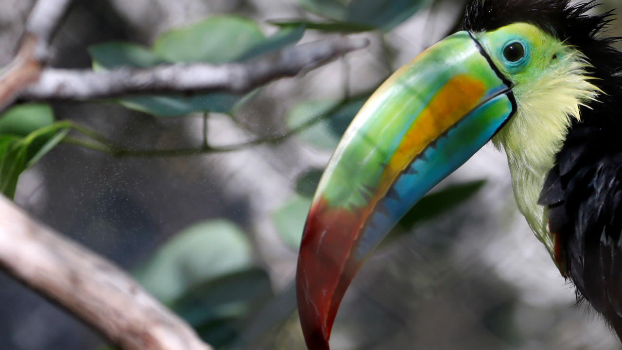 Q16. Toucans are members of the tree dwelling family Ramphastidae. Toucans are known for their colourful beaks. Which brand from the house of Kellog's has a Toucan as their mascot? (Image: Reuters)