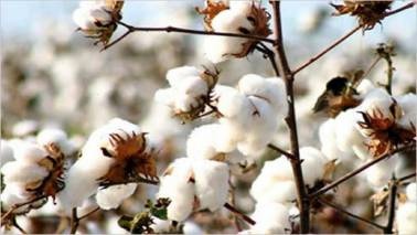 Commodities@Moneycontrol: Cotton prices rise in India on increased demand from China