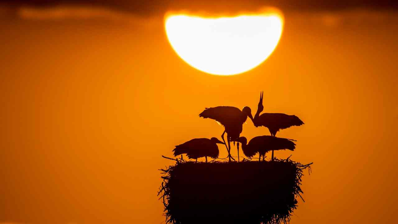 A stork family in their nest is silhouetted against the setting sun at lake 'Greifensee',  in Riedikon, Switzerland. (PTI)