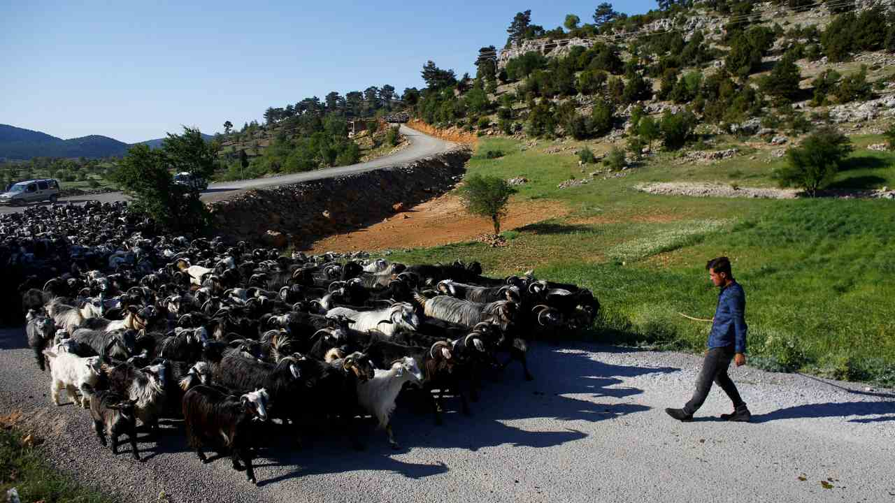 Savas Gobut controls a herd of goats near Mersin, Turkey. Every year, nomads start walking from Mersin on the Mediterranean coast with more than a thousand goats, travelling to the central Anatolian province of Konya. (Reuters)