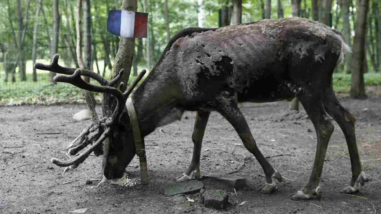 Reindeer Yasha attempts to predict the result of the soccer World Cup semi-final match between France and Belgium during an event at a zoo in Khimki outside Moscow, Russia. (Reuters)