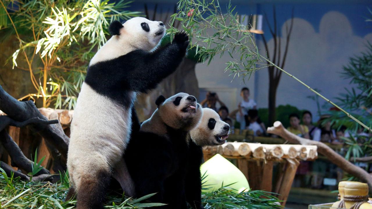 The world's only giant panda triplets Meng Meng, Shuai Shuai and Ku Ku celebrate their fourth birthday at Chimelong Safari Park in Guangzhou, China. (Image: Reuters)