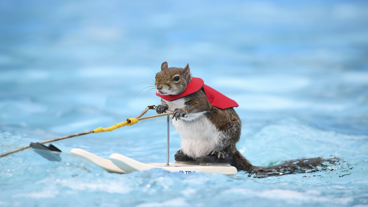Twiggy, the water-skiing squirrel, performs outside U.S. Bank Stadium as part of X Fest in Minneapolis, Thursday, July 19, 2018. The squirrel, the 7th in a line of Twiggies going back to the late 1970s, is on a farewell tour due to the retirement of its owner, Lou Ann Best. She started performing with water-skiing squirrels with her husband, Chuck Best, who died in a downing accident in 1997. Lou Ann spends a substantial part of her performance educating spectators about water safety. (Reuters)