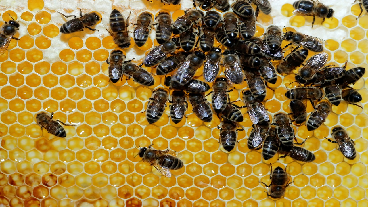 Bees are seen on a honeycomb of the apiculture company Zuerihonig in Oberengstringen, Switzerland. (Image: Reuters)