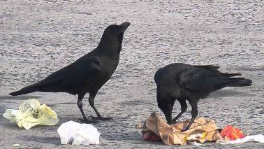 French historical theme park trains crows to collect litter