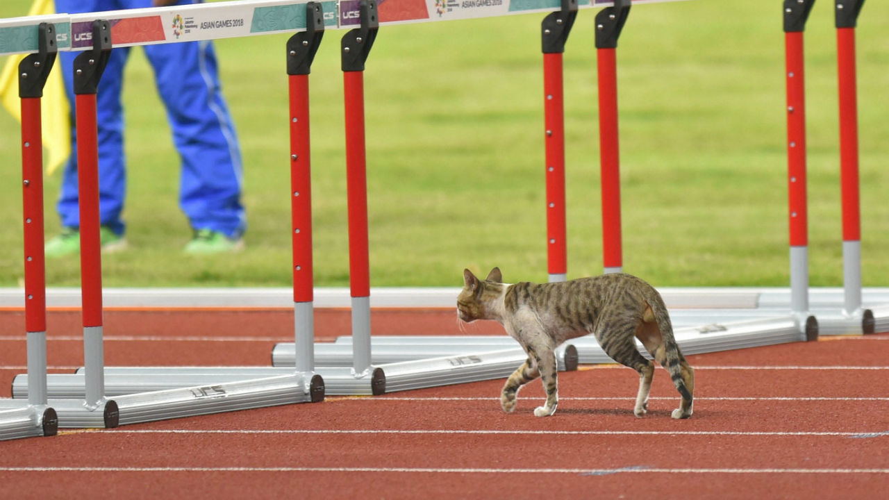 A cat wonders onto the track prior to the start of the women's 100m hurdle heats during the athletics competition at the 18th Asian Games in Jakarta, Indonesia. (Image: PTI)
