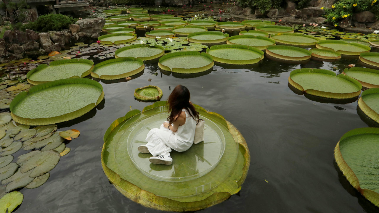 A girl poses for a photo on a giant waterlily leaf during an annual leaf-sitting event in Taipei, Taiwan. (Image: Reuters)