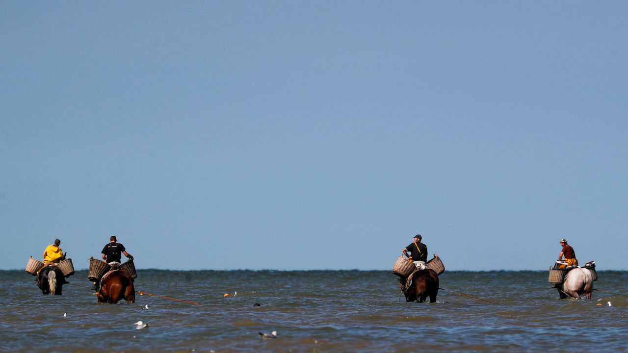 Belgian shrimp fishermen ride carthorses to haul nets out in the sea to catch shrimps during low tide at the coastal town of Oostduinkerke, Belgium. (Image: Reuters)