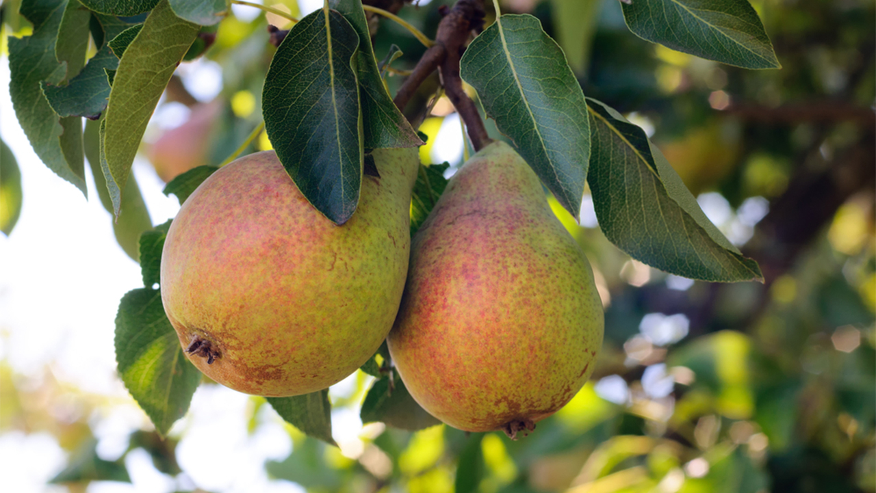 Pears: Since they are high in fibre, pears can help reduce weight, combat cancer and prevent diabetes. (Image: Shutterstock)