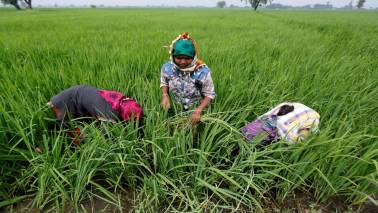 Asia Rice: India rates tumble; Vietnam hopes to clinch Philippines deal