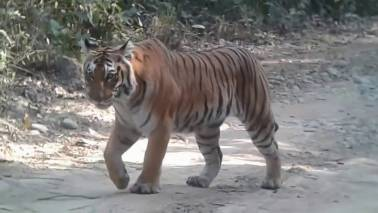 CBI probe ordered into death of tigers at Corbett Tiger Reserve