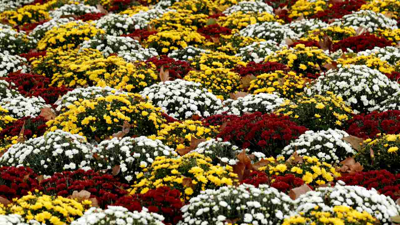Chrysanthemum plants are seen on the eve of All Saints Day in Paris, France. (Image: REUTERS)