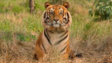 Climate change could completely eradicate Bengal tigers