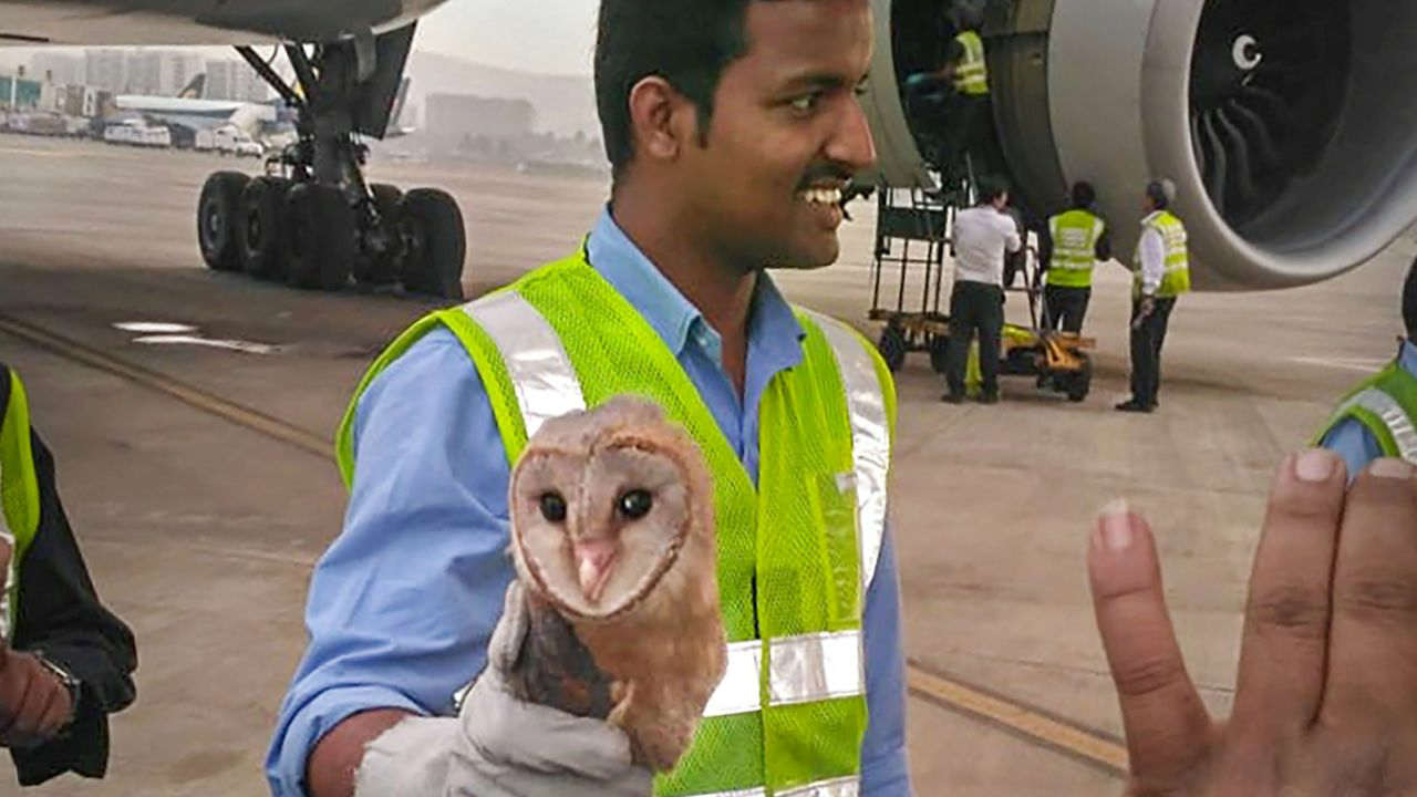 A ground staffer carries a Barn Owl that had entered the cockpit of a Jet Airways Boeing 777 at the Mumbai airport. (PTI)
