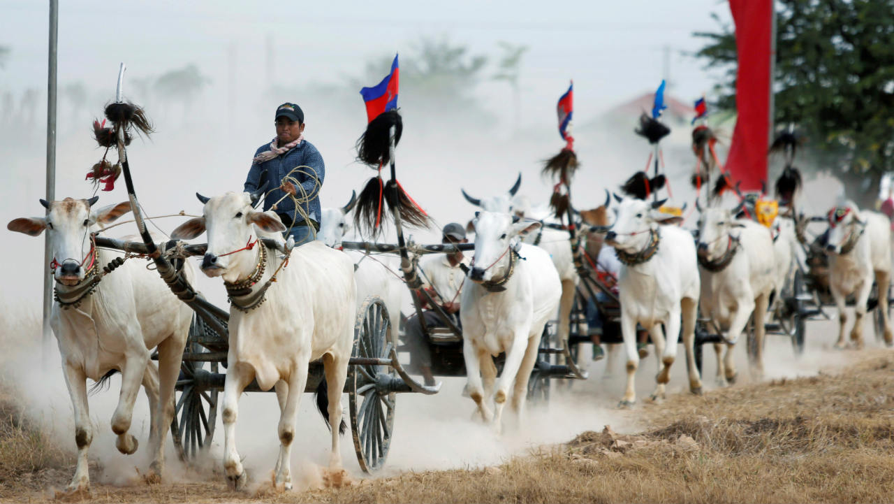 Villagers race their ox-carts ahead of Khmer New Year in Kampong Speu province, Cambodia. (Image: Reuters)